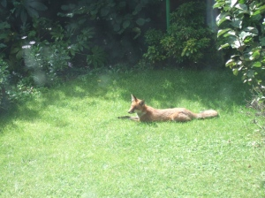The fox in broad daylight